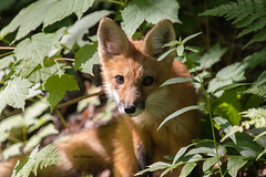 Young Red Fox (stitchersue) Tags: fox redfox youngfox curious woods algonquinpark ontario