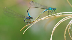 Blue-tailed Damselflies - Ischnura elegans (visualstripes) Tags: damselflies damselfly odonata mating macro sigma105mm panasonicg1 microfourthirds insect invertebrate nature 2018