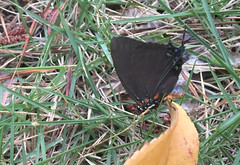 Great purple surprise (cotinis) Tags: insect butterfly lepidoptera lycaenidae theclinae atlides atlideshalesus greatpurplehairstreak northcarolina piedmont bmna nc july inaturalist