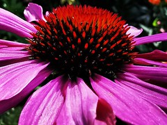 Coneflower (janettehall532) Tags: coneflower pinkconeflower pink summerflower summerplant naturephotography nature naturelovers colours flowerhead flowersandcolours centreofaflower flowerpetals macroflower macro macrolovers macroflowers closeupshot closeupphotography photography photographylovers photo floral botany huawei huaweip30pro flickr flickrcentral bloom flowerscentre gardenflower gardenflowers smallflowers colourpink