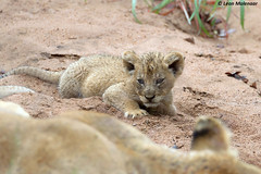 10 August - World Lion Day (ii) (leendert3) Tags: leonmolenaar southafrica krugernationalpark naturereserve nature naturalhabitat wildlife wilderness wildflowers mammal africanlion ngc naturethroughthelens
