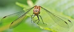 Face off with a dragon .................... (nick.linda) Tags: commondarterdragonfly sympetrumstriolatum faceoff facetoface dragonflies odonata wildandfree northeastengland canon7dmkii canon100400mkll oneshot handheld