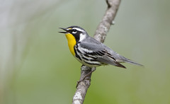 Yellow-throated Warbler.Lake hope Ohio. (mandokid1) Tags: canon 1dx ef600mm11 birds warblers