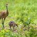 #3 Adopted Canada Gosling and Mama Sandhill Crane ~  Branta canadensis, Antigone canadensis ~ Kensington Metropark, Michigan