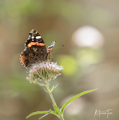 atalanta (maar73) Tags: vlinder butterfly maar73 nikond7500 sigma180mmf28exdgosapohsmmacro nature natuur flower flora atalanta garden tuin