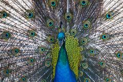 vanity (Blende1.8) Tags: peacock pfau vanity vogel vögel bird birds color colour colours colourful pattern xc50230 fuji fujifilm fujinon 50230mm animal animlas peacocksfan fan pfauenrad