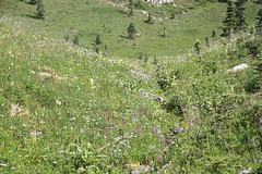 Mount Rainier National Park wildflower meadow_1 (jlcummins) Tags: mountrainiernationalpark washingtonstate piercecounty