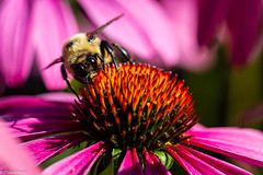 Bee Nice (jtrainphoto) Tags: garden coneflower ef100mm macro flowers bee nature flower yard summer insect bloom flickr canon