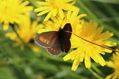 Erebia pharte - Blind ringlet - Blinde bergerebia (Oberjoch, Germany) (Christian van de Ven) Tags: vlinder butterfly schmetterling mariposa papillon erebia