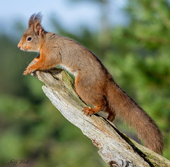 JWL8797  Red Squirrel.... (Jeff Lack Wildlife&Nature) Tags: animal animals squirrel squirrels wildlife redsquirrel trees nature forest woodland scotland countryside highlands woods woodlands forestry pines forests caledonian cairngorms pineforest naturephotography wildlifephotography jefflackphotography ngc