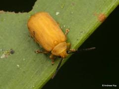 Leaf Beetle, Chrysomelidae (In Memoriam: Ecuador Megadiverso) Tags: andreaskay beetle chrysomelidae coleoptera ecuador leafbeetle