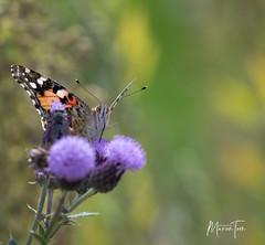 atalanta (maar73) Tags: atalanta butterfly vlinder maar73 nature natuur flora fauna sonyrx10m3 insect