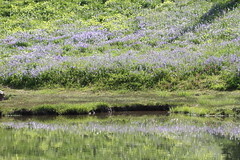 Wildflower reflection (jlcummins) Tags: mountrainiernationalpark washingtonstate piercecounty wildflowers lupine reflections