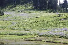 Lupine, bistort, valerian and other wildflowers (jlcummins) Tags: mountrainiernationalpark washingtonstate piercecounty wildflowers lupine reflections
