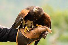 Flugbereit (markusgeisse) Tags: greifvogel greifvogelshow vogel bird birds prey birdsofprey fly raubvogel flug teleobjektiv tamron nature tiere animals natur