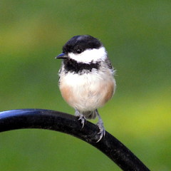 Black-capped Chickadee (PhotonPirate) Tags: poecile atricapillus blackcapped chickadee homer ny upstate