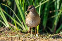 Sora (juv) (Gf220warbler) Tags: idaho rail wetland