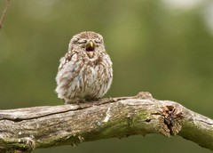 Little Owl (Alan McCluskie) Tags: littleowl owl birds birdofprey