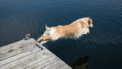 The Diver D7C_9895 (iloleo) Tags: dog goldenretriever dive action nature nikon jonesfalls sherman animal