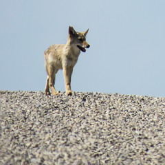 Young Coyote (annkelliott) Tags: animal wildlife coyote young