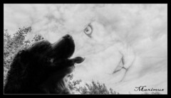Une reve (patrick.verstappen) Tags: dog pet animals video max kitty photomania ipernity ipiccy image imagine photo picassa pinterest pat yahoo gingelom google flickr facebook twitter nikon d5100 winter lovely limburg belgium colors gato perro foto animales fantasía chat chien rêve animaux 猫,狗,照片,梦想,动物,幻想 katze hund traum tiere dream fantasy daiko portrait photoshop patrick verstappen dreams love rest inspiration look people phototrick bernese bsh bereńskie barbie xxx cat pets lion texture textured august textura texturado cloudy sky hdr bw