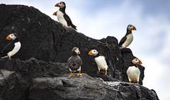 Puffins (KRC1975) Tags: wildlife uk farneislands puffins northumberland