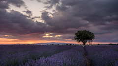 beautiful Provence (hjuengst) Tags: provence hauteprovence valensole tree sunset sonnenuntergang lavender lavendel clouds wolken