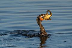 I got this! (craig goettsch - out shooting) Tags: dingdarlingnwr cormorant doublecrestedcormorant bird avian fish water blue nature wildlife nikon d500