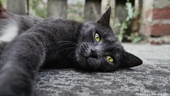 My favourite model hahaha (mickael-demir) Tags: blackcat grey greycat white green felin love eyes eye home sony sonyalpha6000 shooting shoot sleep cute art sweet belgium begginer photographer ilce carlzeiss zeiss carl 24mm carlzeiss24mm wideangle angle wide apsc f18
