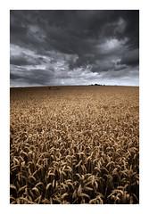 Summer Time (Andi Campbell-Jones) Tags: andi andicampbelljonescom campbelljones photography wheat field corn clouds summer storms