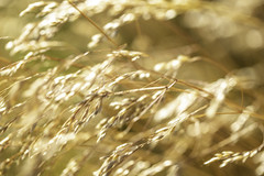 Coastal Wheat Grass 2 (Mabry Campbell) Tags: brown motion nature grass göteborg amber photo movement europe image gothenburg july photograph f35 2019 intimatelandscape storaamundön mabrycampbell 100mm 100 ¹⁄₅₀₀sec ef100mmf28lmacroisusm july162019 20190716campbellh6a1194
