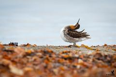 Morning stretch - red -necked phalarope (Osprey-Ian) Tags: redneckedphalarope iceland