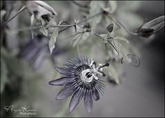 Passion Flower... (angelakanner) Tags: sonynex6 rokinon35mm manualfocus passionflower bokeh processed