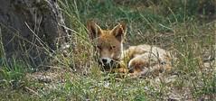 Fox falls asleep (Bushcraft.Eure) Tags: wildlifephoto wildlifephotography normandie normandy animals france wild sony oss sonya6000 sonye epz18105mmf4goss 18105mm sel18105g ilce6000 vulpes vulpesvulpes renard roux renardroux goupil canidae fox