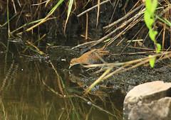 Marouette de Baillon - Porzana pusilla (Yann Brilland) Tags: animal faune oiseaux avifaune aves marouettedebaillon porzanapusilla rallidés