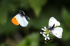 Fluttering On (Ger Bosma) Tags: 2mg291636zzfiltered oranjetipje orangetip anthochariscardamines aurorafalter aurore mariposaaurora mariposamusgosa pontalaranja zorzynekrzeżuchowiec pieridae whites white male female flight flying