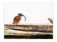 Martin-pêcheur et son poisson au marais (Dantou007) Tags: exterieur marais martinpêcheur poisson hainaut belgique