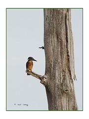 Martin-pêcheur (Dantou007) Tags: tronc marais belgique extérieur oiseau hainaut martinpêcheur tree bird kingfisherbird