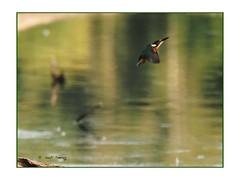 Martin-pêcheur en vol au marais (Dantou007) Tags: oiseau martinpêcheur marais hainaut belgique extérieur vol kingfisherbird flight bird swamp