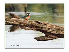 Martin-pêcheur au marais (Dantou007) Tags: oiseau martinpêcheur marais hainaut belgique extérieur tronc eau kingfisherbird bird water tree swamp