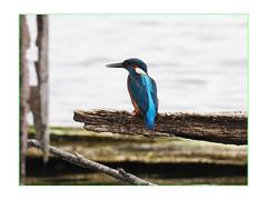 Martin-pêcheur au marais (Dantou007) Tags: exterieur marais martinpêcheur hainaut belgique oiseau