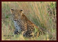 LEOPARD CUB (Panthera pardus) ...MASAI MARA.....SEPT 2018. (M Z Malik) Tags: nikon d800e 400mmf28gedvr kenya africa safari wildlife masaimara keekoroklodge exoticafricanwildlife exoticafricancats flickrbigcats leopard pantheraparduc ngc