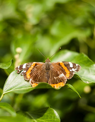 Red admiral (ChrisCaptures) Tags: redadmiral butterfly canon5dmk1 helios58 helioslens