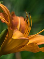 Lilie im Detail (Naturportal) Tags: lilie lily bokeh natur nature blüte blossom detail makro makrofotografie macro macrophotographie pflanze plants panasonic dmcgx8 olympus m60mm f28