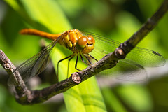 Dragonfly (Jana`s pics) Tags: dragonfly insects closeup macro macrophotography 100mmf28lmacro animals animalphotography libelle insekten nahaufnahme tiere tierfotografie makro makrofotografie nature naturephotography natur naturfotografie