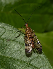 Scorpion fly (Fred Roe) Tags: nikond810 nikonafsmicronikkor105mmf28 nature naturephotography wildlife wildlifephotography national animals insect fly scorpionfly colors outside flickr macro peacevalleypark