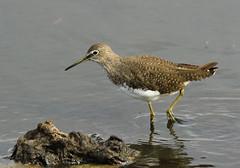Chevalier culblanc - Tringa ochropus (Yann Brilland) Tags: animal faune oiseaux avifaune aves chevalierculblanctringaochropus limicoles scolopacidés