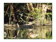 martin-pêcheur (Dantou007) Tags: oiseau martinpêcheur hainaut belgique extérieur marais kingfisherbird bird swamp