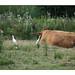 Héron Garde-bœuf qui parle à l'oreille des bœufs et Aigrette-Garzette qui boude