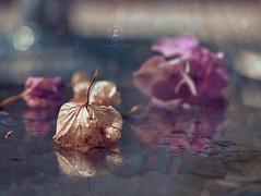 Dreaming in purple and blue (Zara Calista) Tags: dream soft flower stilllife still life purple water rain dew morning reflection bokeh nikon hydrangea macro blue light